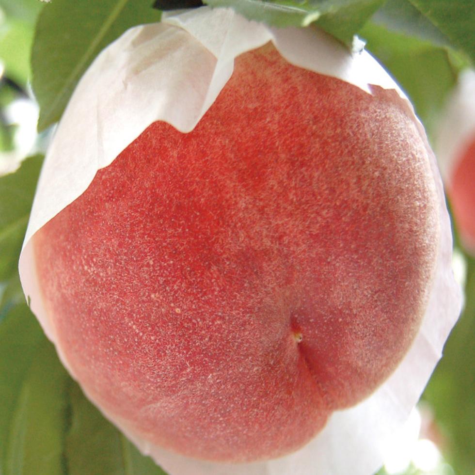 さくら白桃 品種