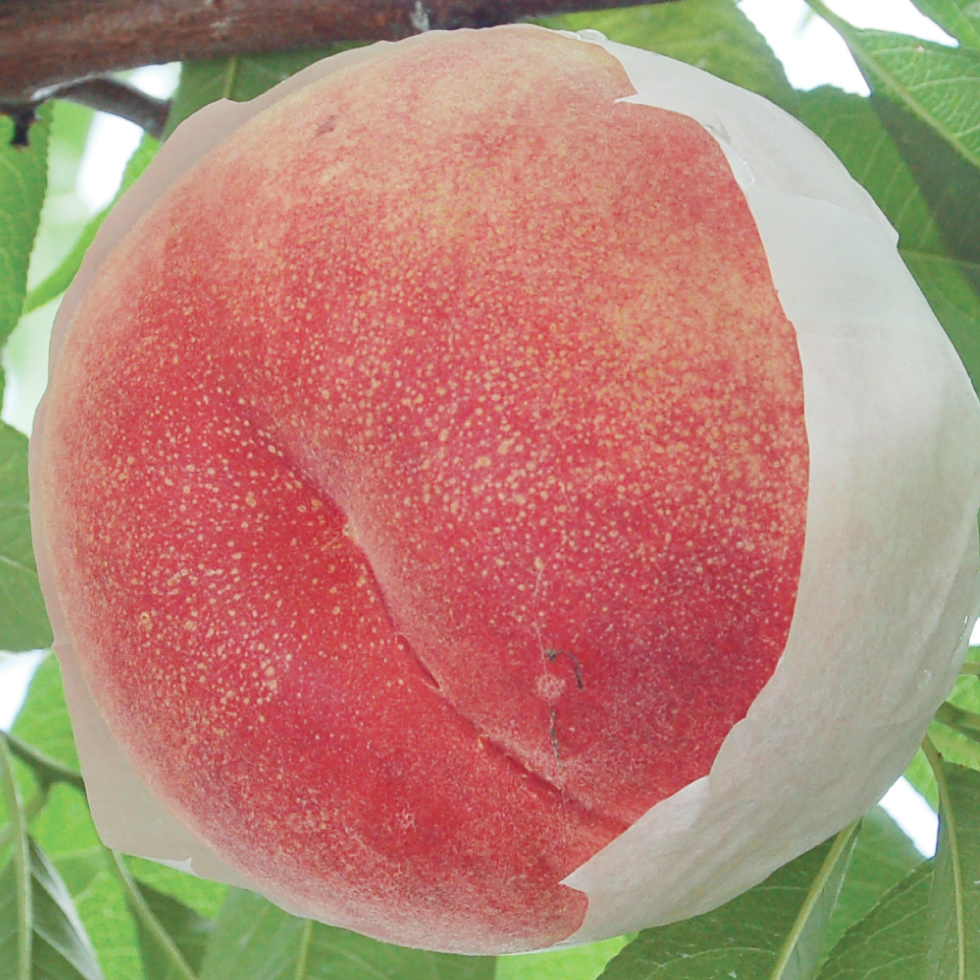 川中島白桃 品種