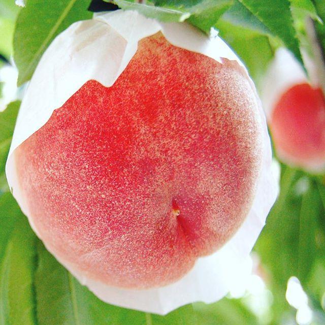 さくら白桃のご予約受付を開始!敬老の日やお彼岸にもぴったりです。 #さくら白桃 #福島桃 #菱沼農園 #福島 #福島市 #桃 #果物 #くだもの #果樹 #敬老の日 #お彼岸 #贈答 #ギフト #Fukushima