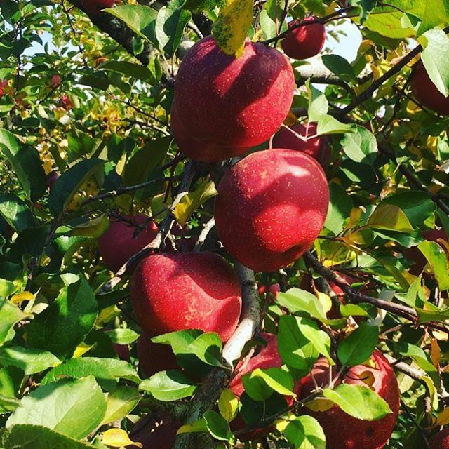 昨日から始まった福島サンふじりんごの収穫!今年もおいしくおいしくなりましたぁ!出荷は12月1日からです!あと少しお待ちくださぁ〜い!! #菱沼農園#福島市#福島りんご#サンふじりんご#おいしいはしあわせ#飯坂町#くだもの名人#りんご大使#チワワ店長テリーナ #笑顔いっぱい#元気いっぱい#りんごの収穫#収穫#青空#りんご