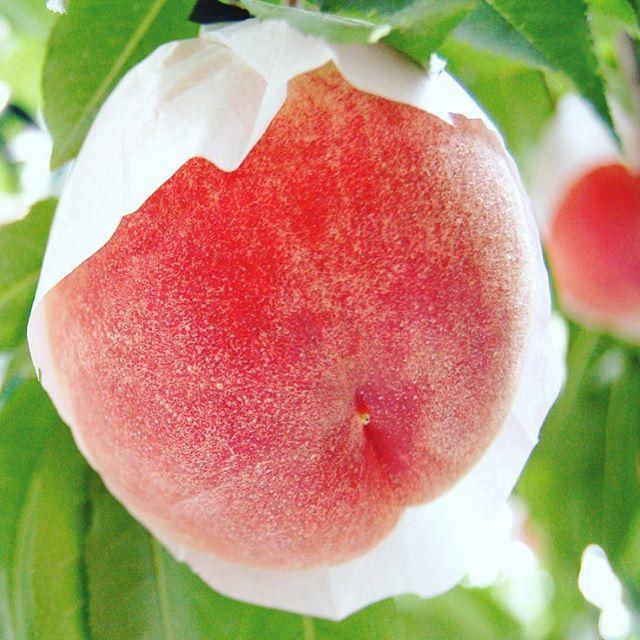まだ間に合います、さくら白桃2017絶賛販売中。 #さくら白桃 #桃 #福島 #福島市 #くだもの #くだもの名人 #果樹園 #果実 #おいしい #うまい #福島桃 #白桃 #収穫 #農家 #農園 #自然 #フルーツ #デザート