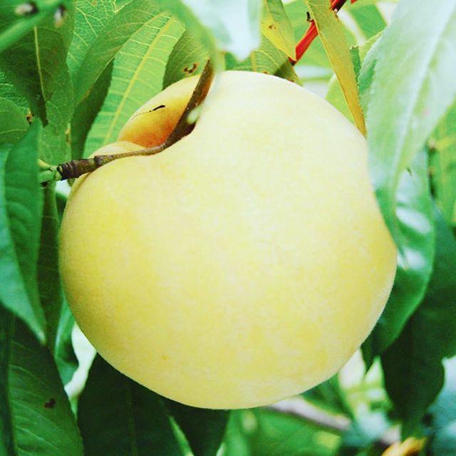 光月2017も数量限定で予約受付中。やわらかな風味を持つ不思議な桃。 #光月 #桃 #福島桃 #おいしい #旬 #果実 #果樹 #くだもの名人 #くだもの #果物 #デザート #フルーツ #うまい #甘い #秋 #テリーナ #自然 #ナチュラル #食文化 #菱沼農園 #農園 #農家 #福島市