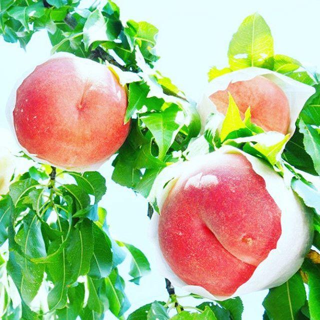 ゆめかおり2017は10月4日より出荷開始予定、先行予約受付中。 #ゆめかおり #福島桃 #菱沼農園 #福島市 #桃 #くだもの #果物 #果樹 #農園 #農家 #フルーツ #デザート #テリーナ #くだもの名人 #収穫 #桃の木 #桃の節句 #桃の実 #自然の風景 #田舎の風景 #田舎 #風景 #自然
