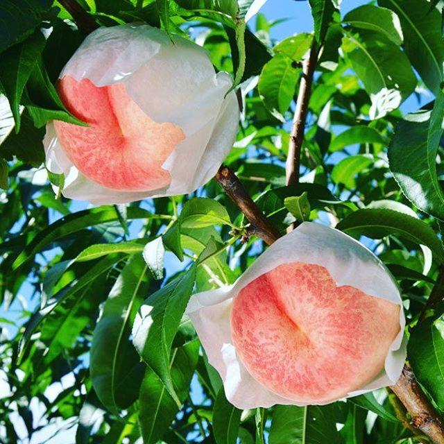 今シーズン最後の桃となる桃水2017も絶賛ご予約受付中です。 #桃水 #福島桃 #菱沼農園 #福島市 #桃 #くだもの #果物 #果樹 #農園 #農家 #フルーツ #デザート #テリーナ #くだもの名人 #収穫 #桃の木 #桃の節句 #桃の実 #自然の風景 #田舎の風景 #田舎 #風景 #自然