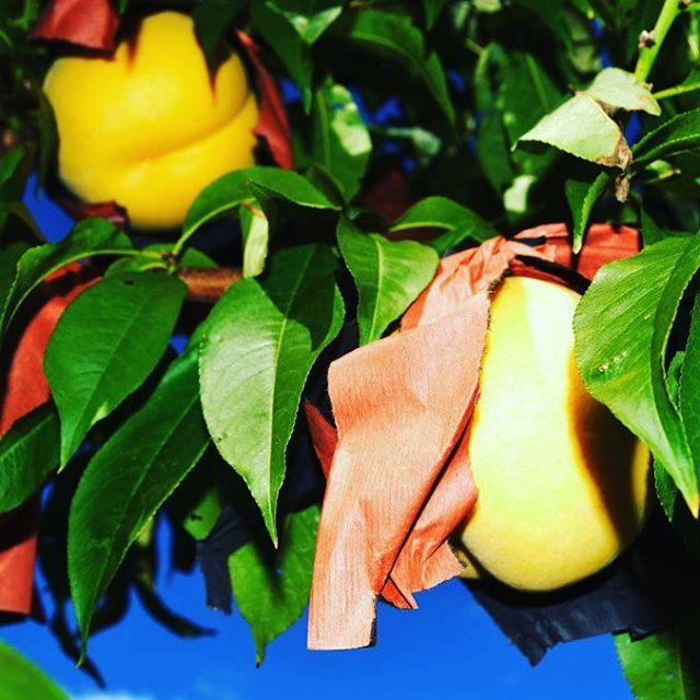 光月2017は10月5日から出荷開始予定、やわらかな風味が特徴です。#光月 #福島桃 #菱沼農園 #福島市 #桃 #くだもの #果物 #果樹 #農園 #農家 #フルーツ #デザート #テリーナ #くだもの名人 #収穫 #桃の木 #桃の節句 #桃の実 #自然の風景 #田舎の風景 #田舎 #風景 #自然