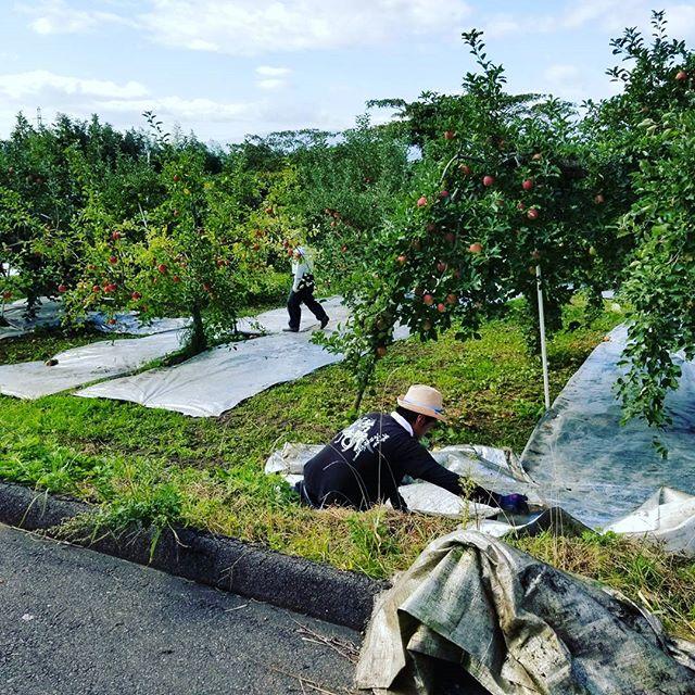 10月2日快晴午前中はりんごの反射シートを敷きましたりんごも順調に育っております♪お昼を食べたら午後からは桃の収穫へ参ります!#りんご#快晴#秋晴れ#桃#福島市#菱沼農園#