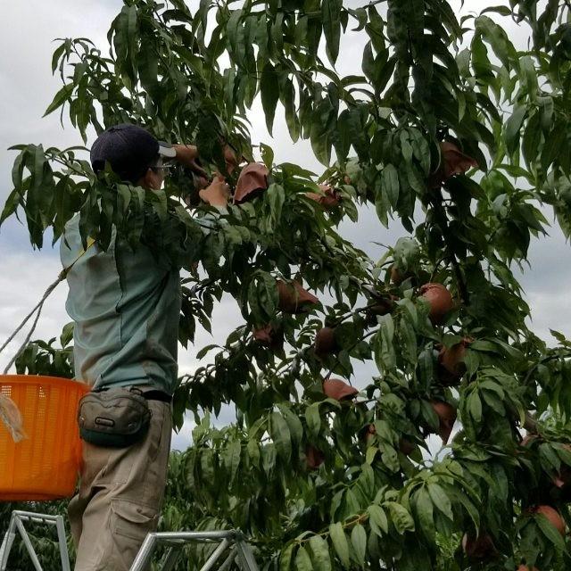 ゆめかおりに続き、桃水&光月の収穫も始まりました~お届けまで今しばらくお待ち下さいませ なおご注文もまだまだ絶賛受付中でございますホームページからもお待ちしております#桃#ゆめかおり#桃水#光月#秋#10月#菱沼農園