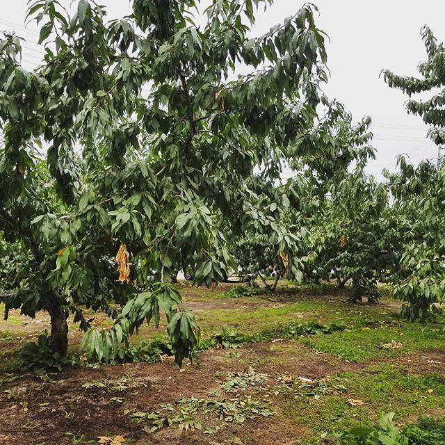 ◇がらもぎ◇について木になっている桃をすべて取りきってしまう作業の事をがらもぎと言います本日はそのがらもぎをし、今年の桃はすべて収穫を終えました。写真はがらもぎをし、葉っぱだけとなった桃の木です。後はお客様の元へとお届けし2017年の桃も終わりとなります(* ´ ‐ ` *)もう一息、がんばりたいと思います#桃#菱沼農園#福島#飯坂#くだもの#秋#収穫#ラストスパート
