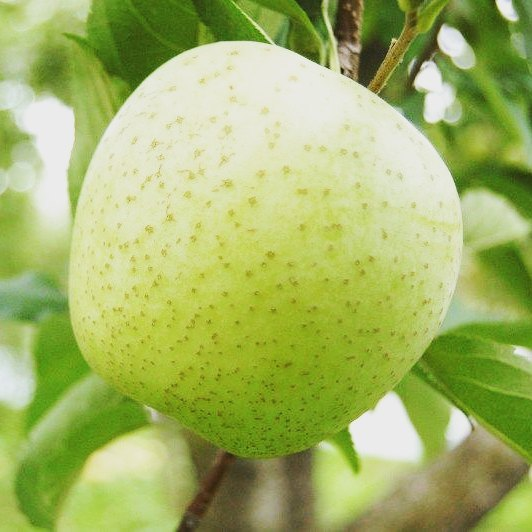 桃の注文は本日もって終了となりますが、ホームページの方では、りんご「王林」の注文を受付開始致しております~#菱沼農園#桃#りんご#秋#福島