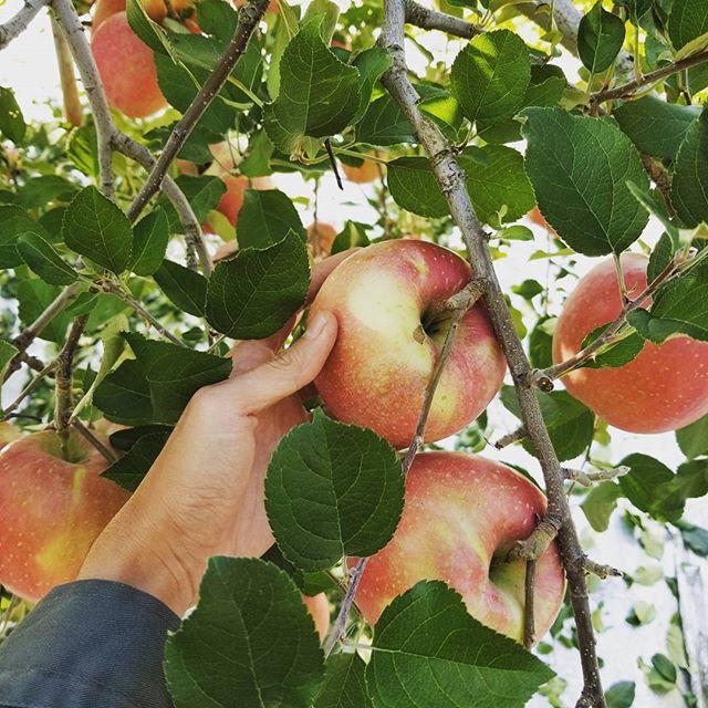 りんごの【玉まわし】太陽の光をまんべんなく当て色づきをよくするために、りんごの実を回転させる事を「玉まわし」といいます。また、葉っぱを摘み取ることで日影を無くします。本日はお天気も回復したため、この玉まわしと葉っぱ取りの作業をしました!#りんご#サンぶじ#福島#くだもの#菱沼農園#秋#お天気