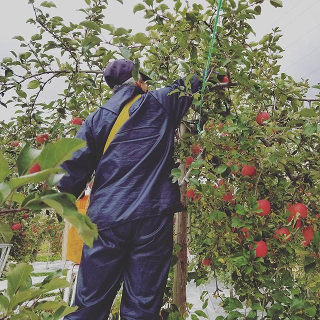 サンふじの収穫が始まりました今日は地元の中学生の皆さんもいらして、生産体験学習の一環として一緒にりんごの収穫と選果を体験しましたいよいよりんごの最盛期!従業員一同、気合いを入れてがんばりますご注文も受付中でございます♪なお、お届けは12月1日からとなります#サンふじ#りんご#収穫#フルーツ#くだもの#福島#ふくしま#飯坂#菱沼農園#