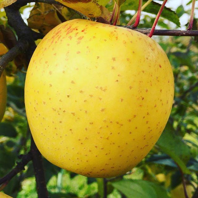 数量限定の黄色いりんご『はるか』予約受付中です。#数量限定 #りんご #リンゴ #はるか #菱沼農園 #農園 #果樹 #くだもの #果物 #新鮮 #自然 #フルーツ #オーガニック #期間限定 #りんご好き #くだもの名人