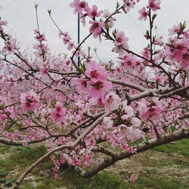 ★開花★こちらは桜の花…ではなく、さくら白桃の花ですよ~ 福島市の桜はちょうど見頃を迎えておりますが、果樹たちの花も次々と咲きはじめています!桜同様に例年より1週間ほど早い開花となり、農園の現場は作業に追われています今日は入学式の学校も多いようですね新入学生・新社会人・新生活を迎える皆さん、おめでとうございます今日はあいにくのお天気でしたので、また来週お天気の良いときに改めて写真を撮り、お伝えしたいと思います #春#桜#開花#桃の花#さくら白桃#福島#飯坂#菱沼農園#新生活#入学式