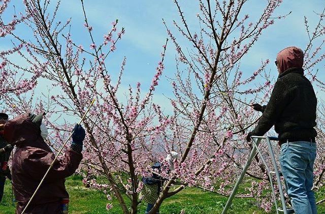 ★ももの花粉交配★本日はお天気に恵まれ、穏やかな1日になりましたねももの花もほとんどの木が満開を迎えておりますそして今日の作業は花粉交配、いわゆる人工受粉です!摘んでおいた花から集めた花粉を、ぼん天に付け、ぽんぽんと花へ付着させていきます。花粉を持たない品種の桃にはこの作業は不可欠!受粉しないと大切な桃が実りません社長いわく花粉交配には、今日のように暖かく風のない日がベストなんだそうです畑で写真を撮っていると猫ちゃんを発見しました♪現場の皆さんいわく、この場所にいつもいて、畑作業をしていると近づいてくるんだそうです(笑)#菱沼農園#快晴#花粉#人工受粉#もも#花#満開#福島#くだもの#撮影日和
