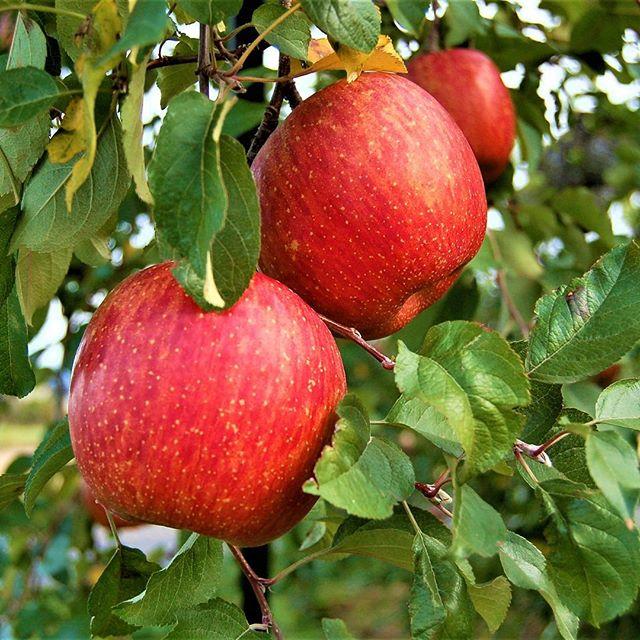 ★サンふじ順調に生育中★またまたご無沙汰しておりました~早いもので、気がつけばもう11月菱沼農園では10月半ばまで続いた桃の出荷も無事に終了し、今はりんごの収穫に向けて準備中でございます!サンふじのご注文は、来週末頃よりネットショップにて受付開始予定です(お届けは12月1日以降となります!)開始の際にはメルマガ.LINEの方でも改めてお知らせさせて頂きます♪今朝の福島市は最低気温7℃と冷え込み、秋を通り越して冬の様な寒さでした~皆さんも風邪にはお気をつけ下さいね。#菱沼農園#福島市#りんご#サンふじ#蜜りんご#秋#冬#寒い#文化の日